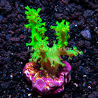 Aquacultured Corals