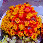 Non-Photosynthetic (NPS)