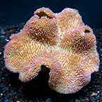 Polyp, Mushroom, and Soft Corals