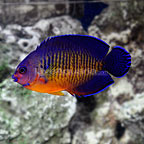 buy fish online buy tropical fish wysiwyg corals clams and fish online 144x144