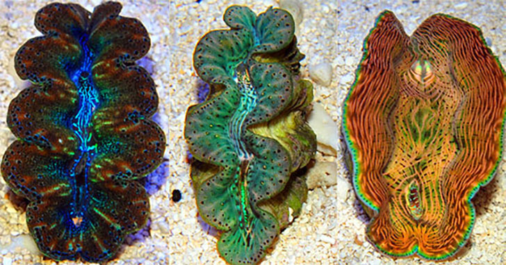 Giant Clams for Beginners: Beautiful, Hardy, & Beneficial