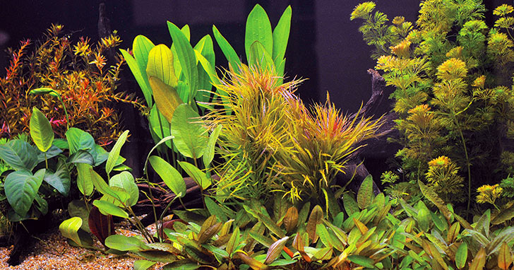 Freshwater Planted Aquarium Care and Maintenance