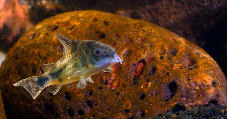 Corydoras Catfish, Freshwater Cleanup Crew