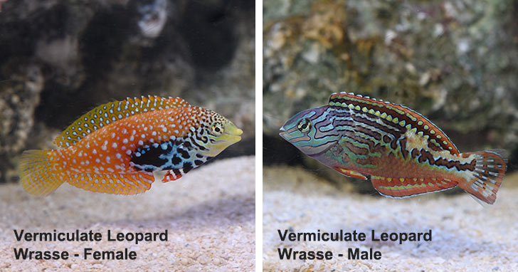 Female Vermiculate Lepoard Wrasse