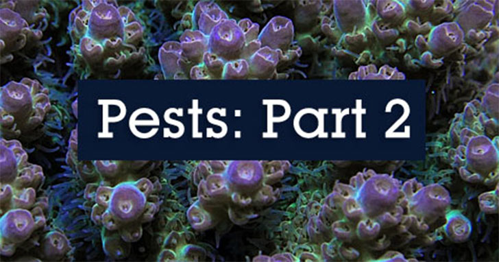 Pests Invading the Reef Aquarium Hobby: Flatworms, Snails & Limpets