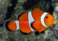 Clownfish care finding nemo in your home for Clown fish care