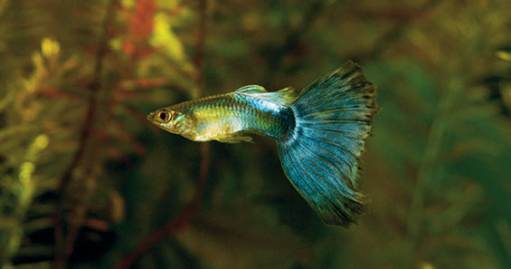 How to Raise Guppies, Mollies, Platies & Swortails in your Home Aquarium