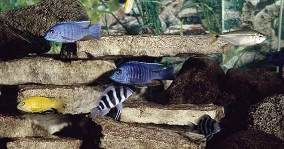 How to Showcase Your Aquarium Fish - African Rift Lake Cichlids