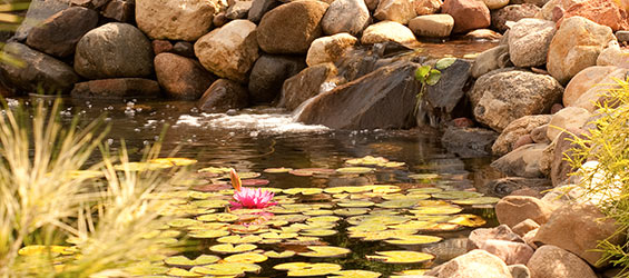 Warm Weather Tips for Ponds & Water Gardens