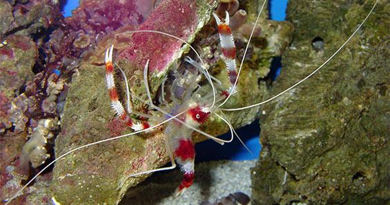 Marine Shrimp for the Home Aquarium: An Introduction