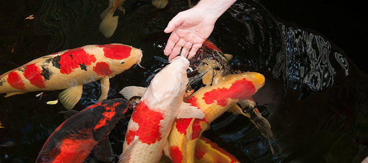 Pond Fish Health: Water Quality Tips for Koi Success