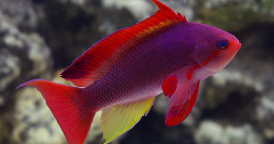 The Anthias of the Genus Pseudanthias - Part 1