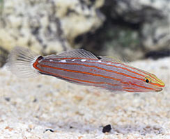 Popular Saltwater Fish for Beginners - Court Jester Goby