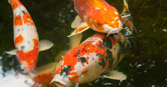 Develop an Eye for Beautiful Koi: Learn How Koi are Judged