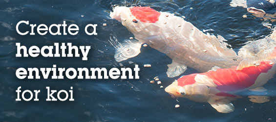 Create a Healthy Environment for Koi