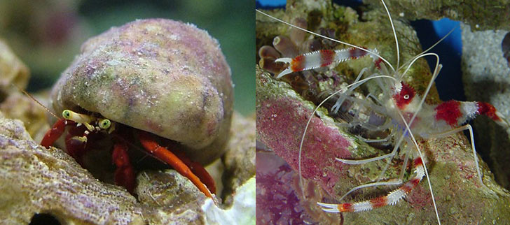 Marine & Reef Aquarium Maintenance: Considering a Cleanup Crew