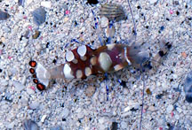 White Spot Anemone Shrimp