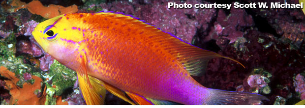 The Anthias of the Genus Pseudanthias - Part 3