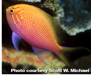 The Anthias of the Genus Pseudanthias - Part 5