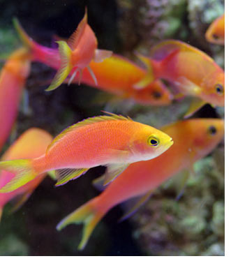 The Anthias of the Genus Pseudanthias - Part 2
