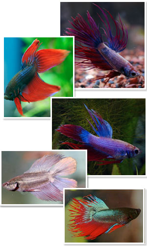Up Close: Kevin Kohen discusses . . .The Best Care for the Beautiful Betta