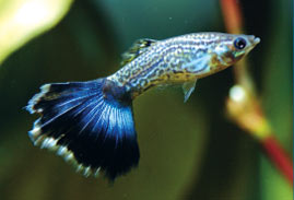 Breeding Tropical Fish: An Introduction - Neon Blue Tux Guppy