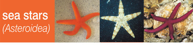 Echinoderms: Part 4 - Sea Stars (Asteroidea)