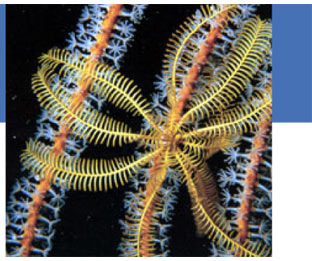 Echinoderms: Part 8 - Feather Stars (Crinoidea)