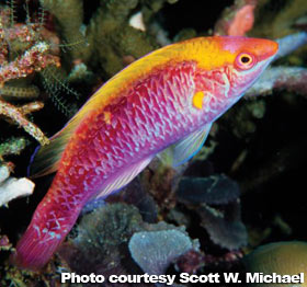 The Best Reef Wrasses; Part 2; Fairy Wrasse