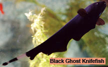 Black Ghost Knifefish