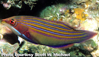The Best Reef Wrasses; Part 5; Lined Wrasse