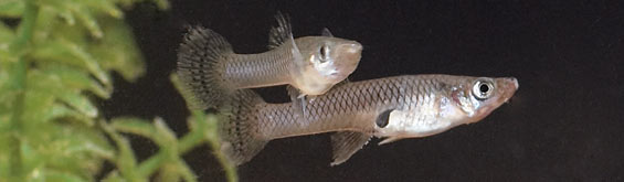 Pond Fish Profile: Mosquito Fish
