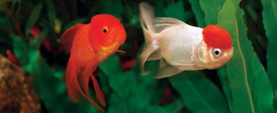 Ficha tecnicas peces de agua fria 1 para acuarios taringa for Peces para peceras pequenas agua fria