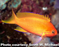 Squareback Anthias, Female