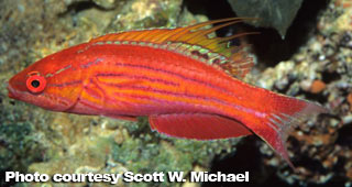 The Best Reef Wrasses; Part 3; Flasher Wrasse