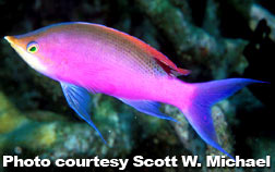 Yellow Stripe Anthias (P. tuka)