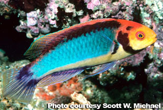 Red Head Solon Fairy Wrasse compatability with existing