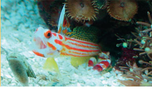 Symbiotic Relationships: Pistol Shrimp & Gobies: A Safe Alliance