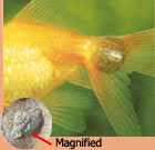 Fish Lice: Photo courtesy TFH Publications
