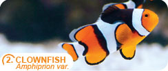 Popular Saltwater Fish for Beginners - Clownfish