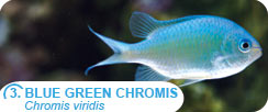 Popular Saltwater Fish for Beginners - Blue Green Chromis