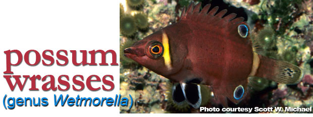 The Best Reef Wrasses; Part 6; Possum Wrasse