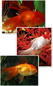 Red Orandas and a Red Cap Oranda
