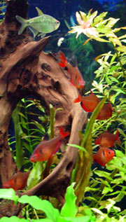 Serpae Tetras & a Diamond Tetra in a Freshwater Planted Community Aquarium