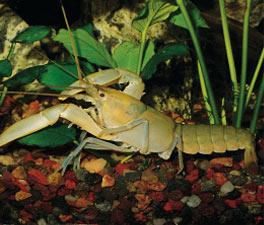 Freshwater Invertebrates for Aquariums: Freshwater Shrimp, Lobster ...