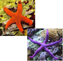Echinoderms: Part 4 - Sea Stars (Asteriodea)