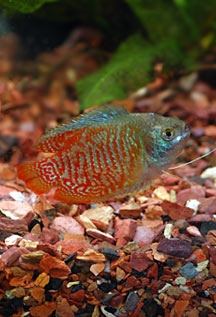 Yellow Honey Dwarf Gourami