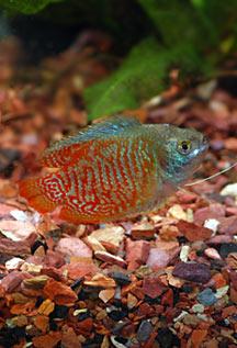 Freshwater Aquarium Species Profile Dwarf Gourami