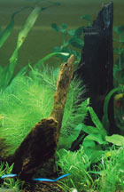 Freshwater Planted Aquarium with Driftwood