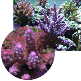 Examples of healthy corals popular for fragging